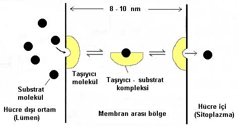 Küçük dev : Hücre
