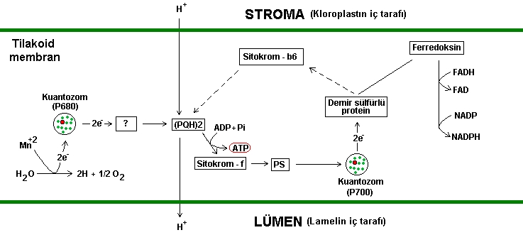 kloroplast hücrede nerede bulunur